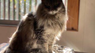アルミホイルの上に乗る猫